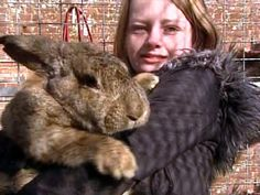 Ralph the rabbit in Uckfield, U.K. is making headlines for his extraordinary size. Ralph is a British Continental Giant rabbit weighs 40 lbs. and is 4 ft. long.  http://www.cbsnews.com/video/watch/?id=6223136n