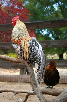 silkie bantam rooster vs hen - Google Search