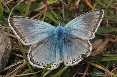A beautiful male Chalk Hill Blue Butterfly, the scientific name for this butterfly is Polyommatus coridon.  You can see this male has suffered a small amount of damage to the lower part of one of its wings.