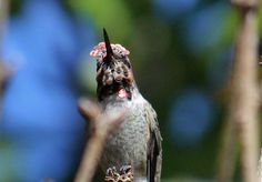 https://flic.kr/p/MexA9c   Crochet headpiece?   Male Anna's Hummingbird display is lovely, especially the crown and gorget feathers !