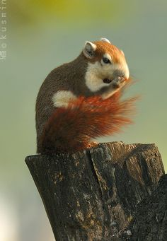 variable squirrel (callosciurus finlaysonii) | Flickr user punkbirdr