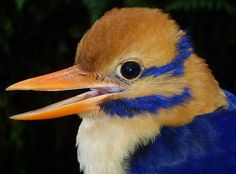 "For decades, scientists called the colorful moustached kingfisher a ""ghost"" because it was so elusive."