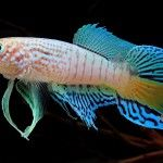 Watch video showing Blue Gularis killifish fry hatching from eggs. Within minutes of putting the eggs in water they start to hatch and free swimming f Freshwater Aquarium Fish, Water Animals, Eggs, Magazine, Blue, Pisces, Egg, Magazines, Egg As Food