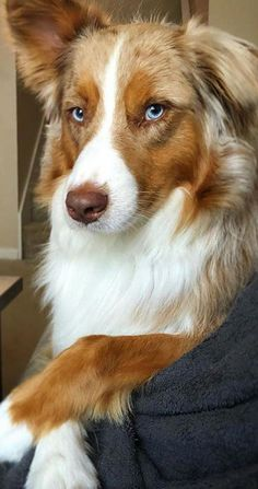 Everything we respect about the Australian Shepherd Pups Australian Shepherd Blue Eyes, Australian Shepherds, Australian Shepherd Puppies, Aussie Dogs, Beautiful Dogs, Animals Beautiful, Cute Animals, Cute Dogs And Puppies, All Dogs