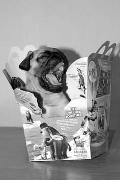 Happy meal pug  @Alison Smith