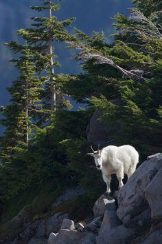 mountain goat, Mt. Rainier National Park, Washington