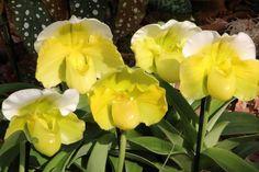 Frauenschuh -Orchideen - Orchids - Orchideenblüte - Orchidbloom -www.orchideenfans.de