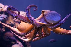 Creatures of the Ocean- Octopus Facts