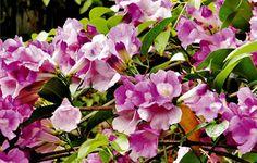 bunga alamanda merah,bunga alamanda putih,bunga alamanda kuning,ciri ciri bunga alamanda,jenis bunga alamanda,bunga alamanda dapat menyebabkan,nama latin bunga alamanda,