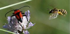 """Cet Halictus scabiosae femelle va percuter le """"Lepture porte-coeur"""" pour le déloger de la Scabieuse...(photo J.P.Lavigne)"""
