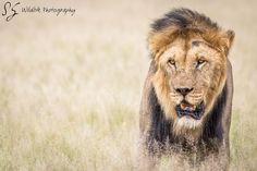King of the Kalahari  #wildlife #wildlifepic #wildlifephotography #wildography #earth #photography #africa #animal #safari #lion #cat #nature #big5 #beautiful #bigcat