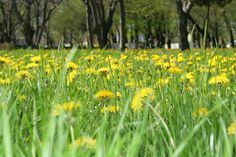 How to Kill Dandelions Without Killing Grass | The Garden Lights Guru