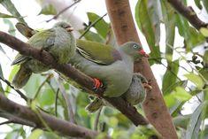 African Green Pigeon – Bird & Wildlife Photography by Richard and Eileen Flack Green Pigeon, Pigeon Bird, Bird Tree, Wild And Free, Wildlife Photography, Reptiles, Cute Animals, Ocean, Birds