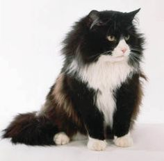 Norwegian Forest Cat - big, sweet, adorable (yup, have one of those too! looks just like this one)