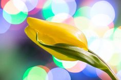 by PhotoIdea on Etsy yellow tulip with bokeh effect