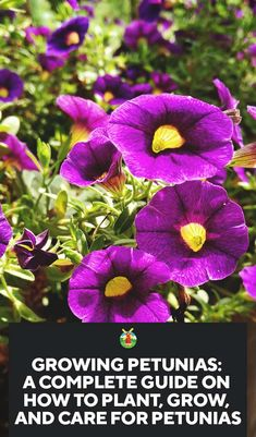 How to Plant, Grow, and Care for Petunias An ideal plant for the beginner gardener, the petunia is gorgeous and very easy to grow. Our guide to growing petunias explains how to grow it from seed, how Petunia Care, Petunia Plant, Petunia Flower, Container Flowers, Container Plants, Succulent Containers, Trailing Petunias, Pot Plante, Perennials