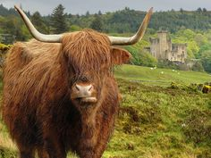 Highland Cow <3<3<3