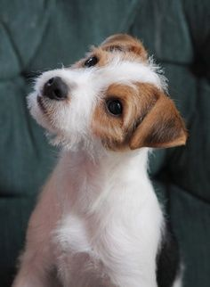 Jack Russell Puppy - Exactly what my Peanut looks like. :) …