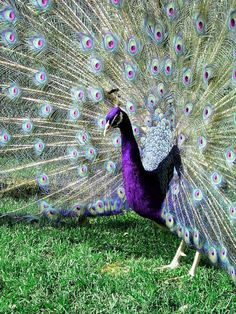 2 Purple Peafowl Peacock Hatching Eggs RARE COLOR!!!