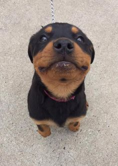 Rottweiler puppies sure are cute! These loving and loyal goofballs can make great pets. Thinking about bringing a Rottweiler puppy into your home? Here are a few things to know about these pups before you adopt. Baby Puppies, Cute Puppies, Cute Dogs, Dogs And Puppies, Doggies, Chihuahua Dogs, Doberman Dogs, Rottweiler Puppies, Cute Funny Animals