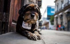 In this March 13, 2015 photo, former street dog Vladimir wears an ID collar that gives his name and residence, as he sits at the entrance of the Old Havana Museum of Metalwork in Havana, Cuba. Cuban law banning animals from workplaces contains an exemption for guard dogs. This legal cover for the ex-strays was bolstered when a dog at a government office awakened a guard one night by barking when she heard would-be thieves removing air conditioners from the windows, according to Nora Garcia…