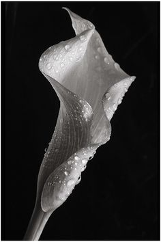 trendy flowers black and white photography nature calla lilies Black And White Flowers, Black And White Pictures, White Art, Calla Lillies, Calla Lily, Still Life Photography, Nature Photography, Photography Flowers, Photography Classes