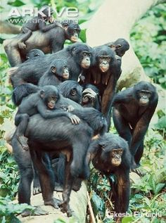 A troop of Bonobo chimpanzees, humanity's closest living relative.