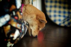 Shiba Inu puppy sleeping. That is just so cute!