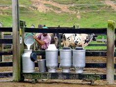 O leite era guardado nesses latões para depois ser distribuído.