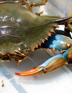 Best Blue Crab Recipes