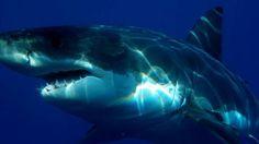 Una mujer muere en un ataque de un tiburón en Australia http://www.guiasdemujer.es/browse?id=5835&source_url=http://www.lavozdegalicia.es/noticia/internacional/2014/04/03/mujer-muere-ataque-tiburon-australia/00031396504491560117374.htm
