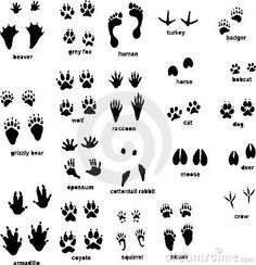Wild Animal Footprints | Animal tracks with front and rear, left and right foot.