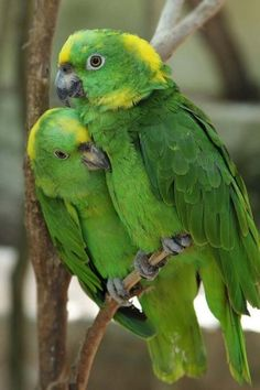 Yellow Naped Amazon Parrots (by BlueDiamond).