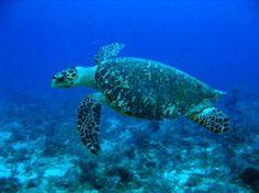 Les tortues marines (comme ici la tortue imbriquée) ont souffert de la marée noire dans le golfe du Mexique. © Hoffryan, Wikimedia, domaine public