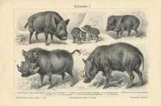 Wild Pigs and Swine 1903 Vintage Art Prints, Antique Prints, Pig Breeds, Animal Art Prints, Science Illustration, Old Antiques, Botanical Art, The Book, Pigs