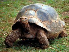 Galapagos Giant Tortoise-Endangered animals list-Our endangered animals | KONICA MINOLTA