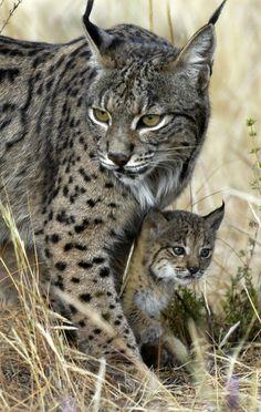 The Iberian lynx (Lynx pardinus) is a wild cat species native to the Iberian Peninsula in southwestern Europe