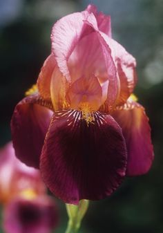 """INDIAN CHIEF, 1929.  With velvety, wine-red falls and glowing standards of raspberry to bronze, this tall, striking, Jazz Age iris is one of the most colorful we grow. It's exceptionally vigorous, too, thriving on neglect in old gardens everywhere and blooming even in part shade. By the good Dr. Wylie Ayres of Cincinnati, 32-36"""", zones 3-7S/ 10WC."""