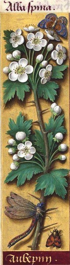 Aubepin - Alba spina (Cratægus oxyacantha L. = aubépine) -- Grandes Heures d'Anne de Bretagne, 1503-1508.