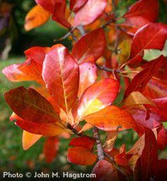 Nyssa sylvatica - Black Tupelo tree fall color
