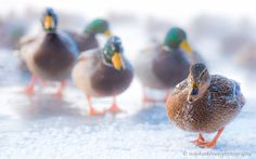 Miss Mallard and her cavaliers at the temperature of Celsius. January time in Finland is not easy peasy to animals and not least to mallards. Photography Sites, Mallard, Cavalier, Bird, Fountain, Animals, Animales, Animaux, Water Fountains