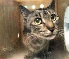 RALEIGH - A1122722 - - Brooklyn  ***TO BE DESTROYED 08/30/17***BEAUTIFUL GREY AND WHITE TABBY, RALEIGH is a friendly cat who has some alopecia from a healed wound – was dehydrated but friendly, purring and ready to go home with YOU! -  Click for info & Current Status: http://nyccats.urgentpodr.org/raleigh-a1122722/