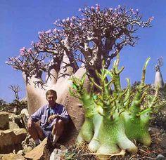Adenium obesum ssp. socotranum. Native to Socotra island, Yemen. (Succulent)