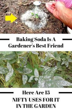 There are so many great uses for baking soda in the garden! These gardening hacks are perfect for any gardener - beginner or advanced! these baking soda tips for gardening and bring your DIY garden to the next level! Diy Garden, Lawn And Garden, Garden Projects, Garden Landscaping, Landscaping Ideas, Diy Projects, Outdoor Projects, Garden Tools, Fence Garden