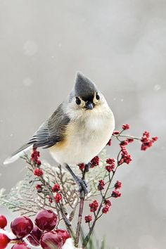 Cute Winter Bird - Tufted Titmouse Photograph by Christina Rollo