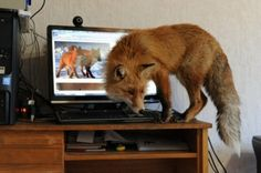 Foxes are not mouses.