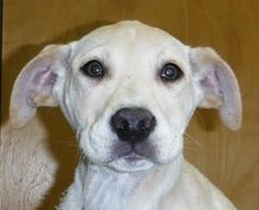 Irving is a cute 3-4 month old Lab mix.   He is a very sweet and happy pup and is ready for a loving and warm forever home!  He is in a foster home with children and other dogs and is doing great! If interested in meeting Irving, please call us at...