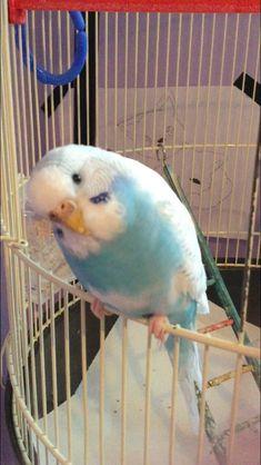 Wonderful -> Parakeets Talking And Singing Funny Birds, Cute Birds, Pretty Birds, Beautiful Birds, Animals Beautiful, Budgie Parakeet, Budgies, Cute Little Animals, Cute Funny Animals