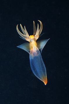 Pteropod mollusk sea angels (Clione limacina)