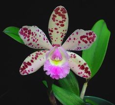 Intergeneric Orchid miltonidium bartley schwartz highlands | Taille : 720x664
